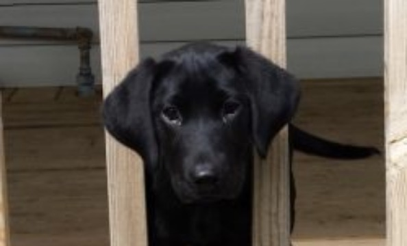 Labrador Retriever Puppy Training - Tips and Tricks to Start